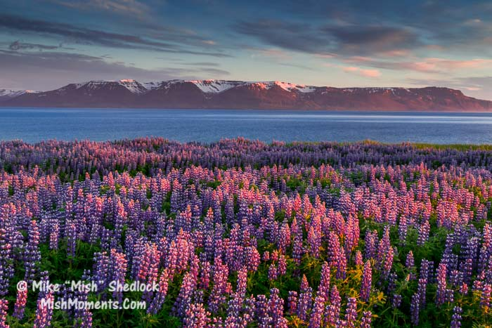 hofsos-north-iceland-lupines-92