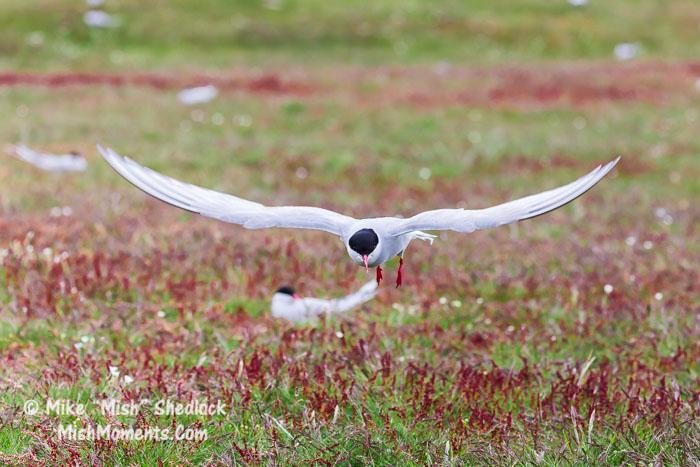 jokulsarlon-arctic-tern-south-iceland-74