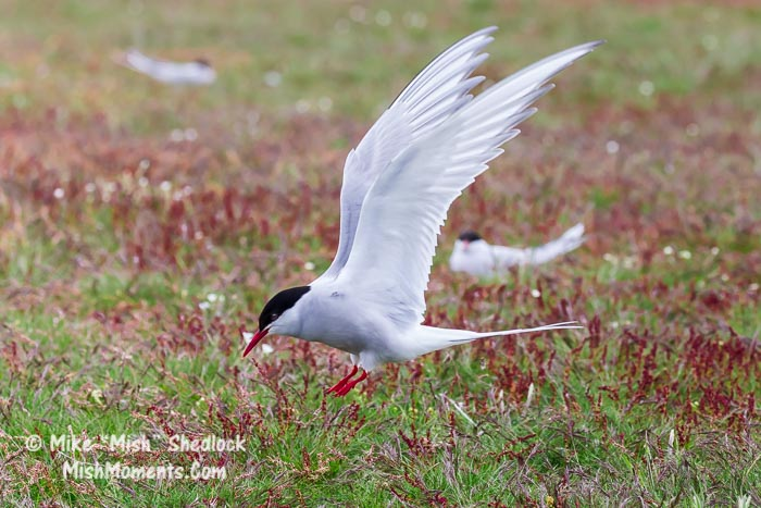 jokulsarlon-arctic-tern-south-iceland-77