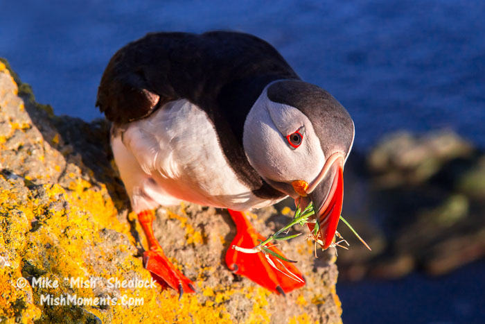 puffin-latrabjarg-bird-cliffs-breidavik-iceland-westfjords-100