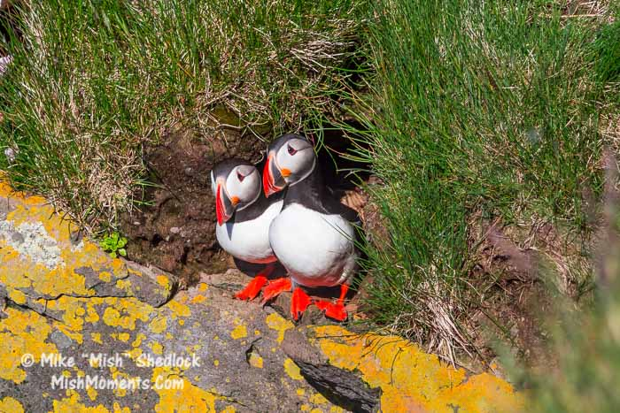 puffin-latrabjarg-bird-cliffs-breidavik-iceland-westfjords-1012