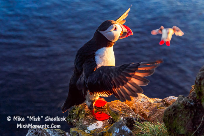 puffin-latrabjarg-bird-cliffs-breidavik-iceland-westfjords-310
