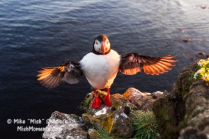 puffin-latrabjarg-bird-cliffs-breidavik-iceland-westfjords-321