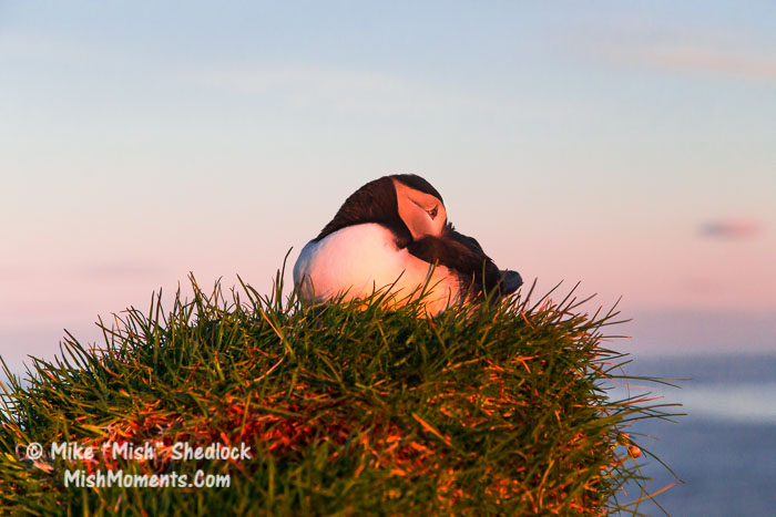 puffin-latrabjarg-bird-cliffs-breidavik-iceland-westfjords-537