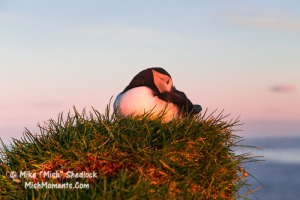 puffin-latrabjarg-bird-cliffs-breidavik-iceland-westfjords-537