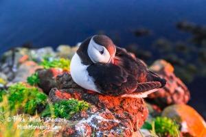 puffin-latrabjarg-bird-cliffs-breidavik-iceland-westfjords-681