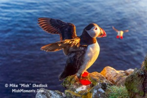 puffin-latrabjarg-bird-cliffs-breidavik-iceland-westfjords313